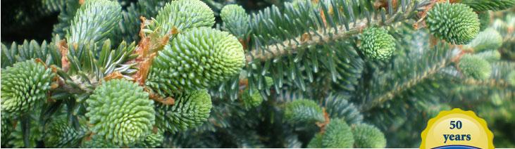 Real Christmas Trees - Cartner Brothers Carolina Fraser Firs